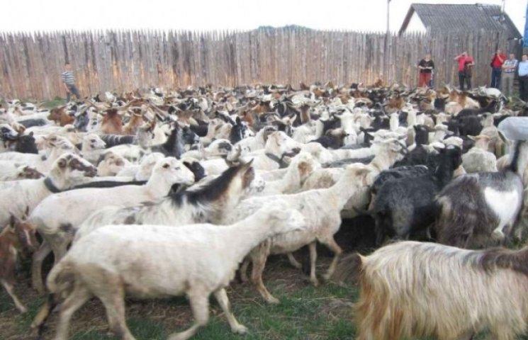 Закарпатських вівчарів на кілька місяців відправили на полонину (ВІДЕО)