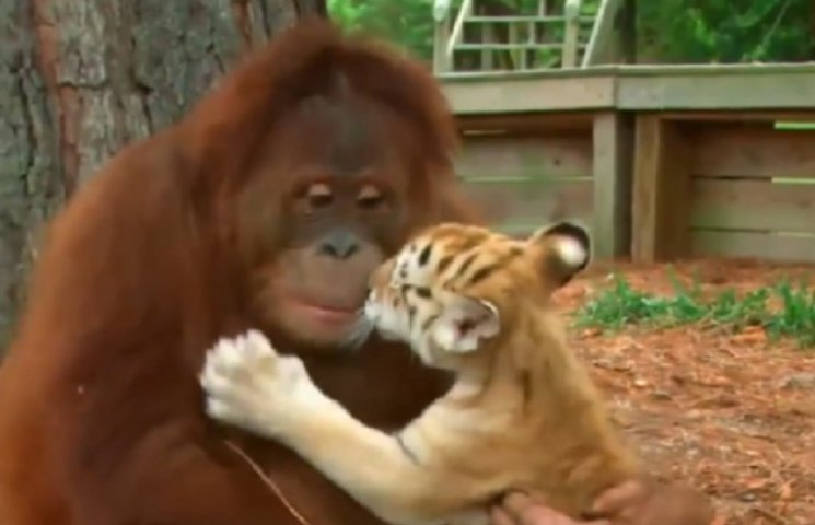 Мавпа з мавпою секс