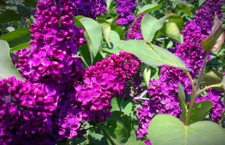 У столичному ботанічному саду повним ходом цвіте бузок (ФОТОРЕПОРТАЖ)