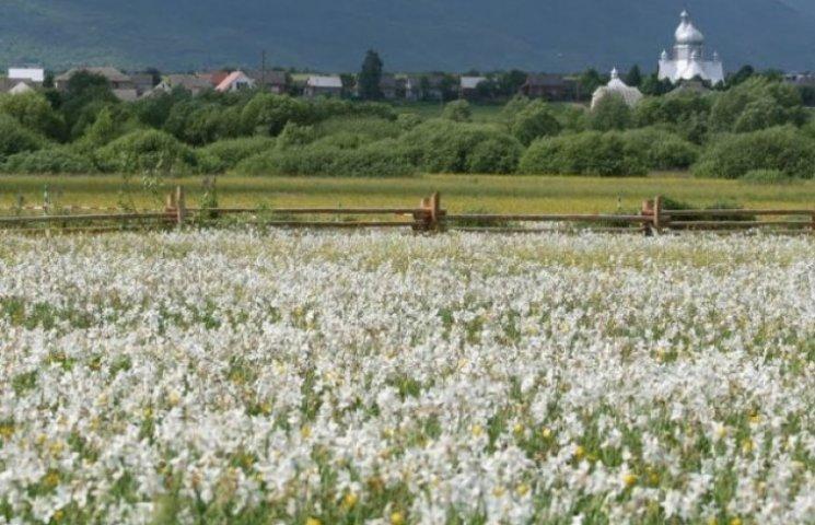 На Закарпатті розквітли 250 гектарів унікальної Долини нарцисів (ВІДЕО)