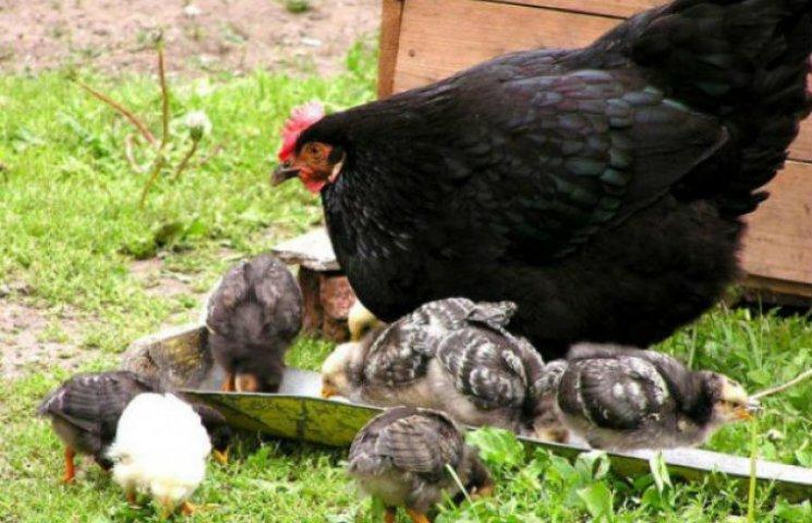 На Сумщині невідома хвороба нищить домашню птицю