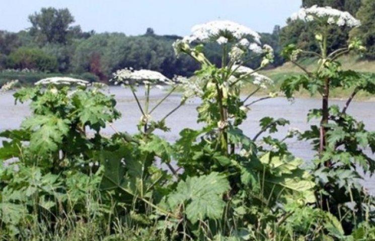 На Закарпатті - пік цвітіння отруйних рослин (ВІДЕО)