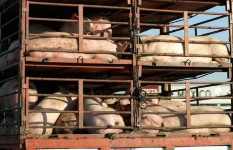 Історія з життя: Як пережити поїздку у київській маршрутці для свиней