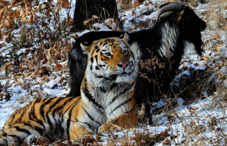 Росіяни розлучають тигра Амура і цапа Тимура