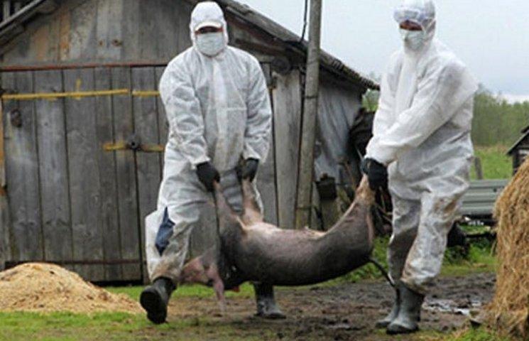На Хмельниччині в трикілометровій зоні ураження чумою спалять всіх свиней