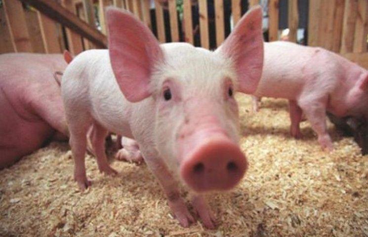 Білорусь припинила ввіз свиней з Хмельниччини через чуму