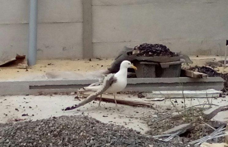 У Миколаєві чайка з поламаним крилом шукала допомоги у людей