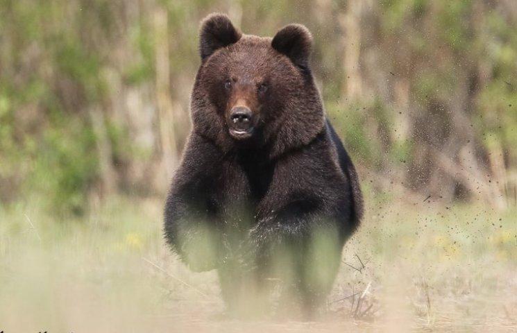 Как на фотографа, который снимал птиц, неожиданно набросился дикий медведь