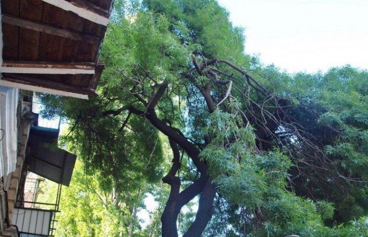 У центрі Одеси на тротуар падають величезні гілки трухлявого дерева