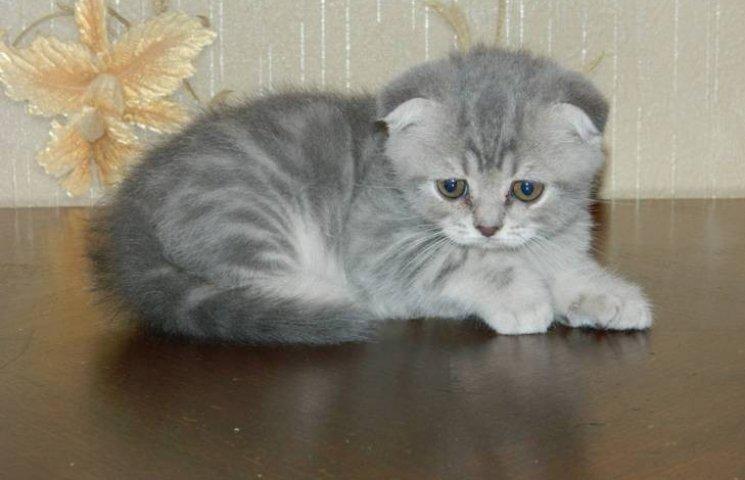 скоттиш-страйт котенок фото