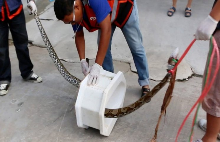 На жителя Бангкока в туалете напал питон
