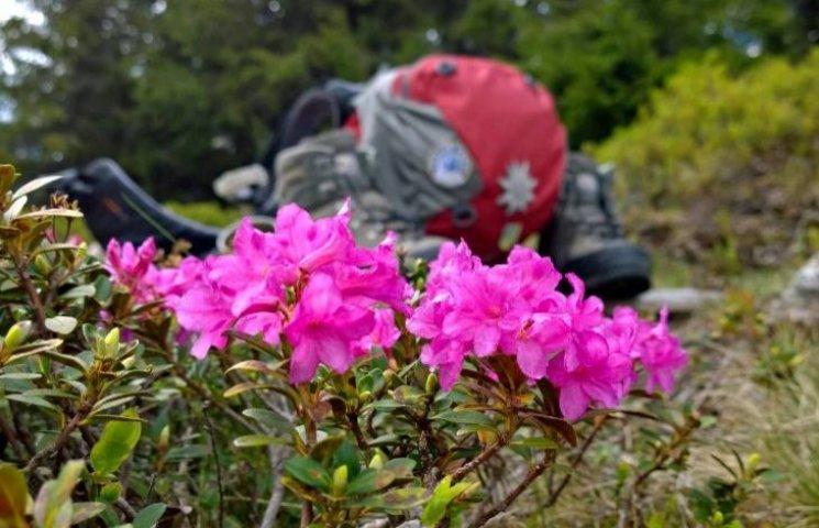 В останній день весни в Карпатах зацвіла червона рута