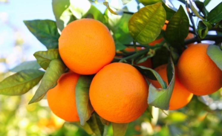 На Кубані завернули до Єгипту більше 120 тонн апельсинів