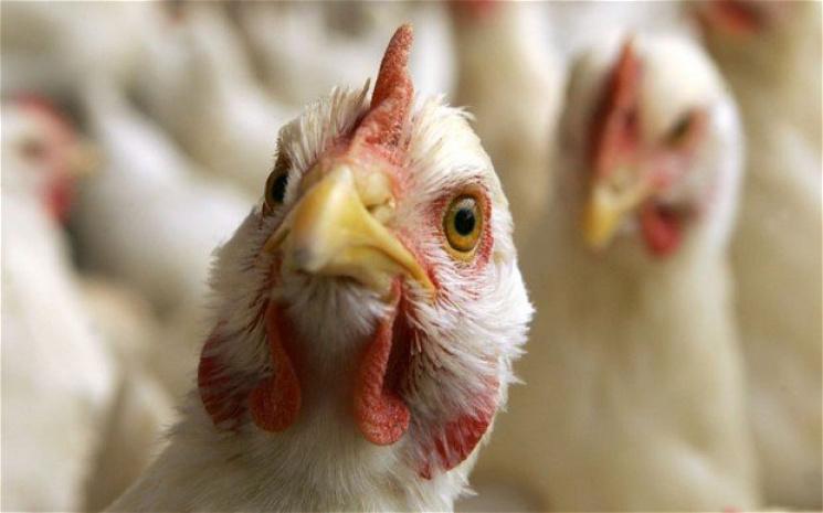 Россельхознадзор проверит птицеводческие предприятия Чувашии на птичий грипп
