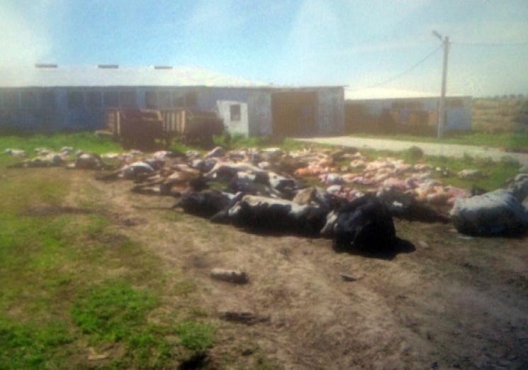 УХмельницькій області уфермера за ніч померли 88 корів