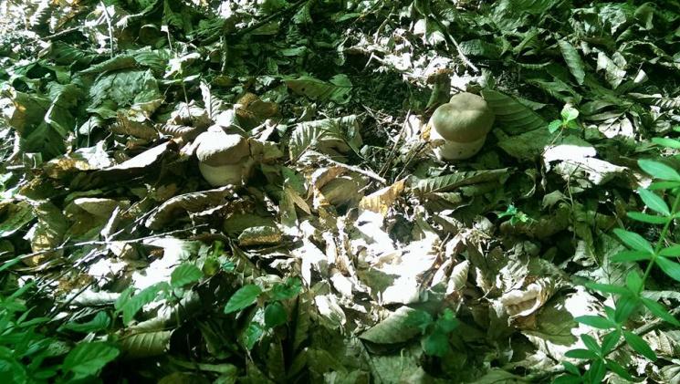 Закарпатці хизуються неабиякими грибними