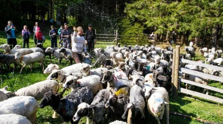 Проводи на полонину: Як у Карпатах зберігають колоритні традиції вівчарства