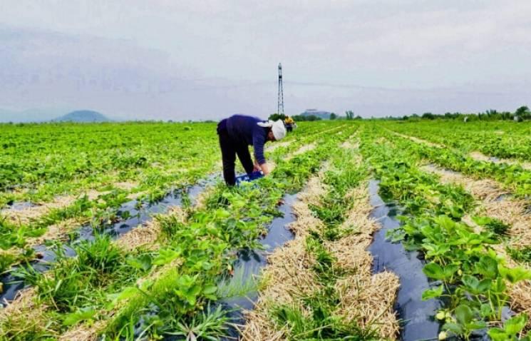 На Закарпатті на полуничних плантаціях збирають тонни врожаю (ФОТО, ВІДЕО)