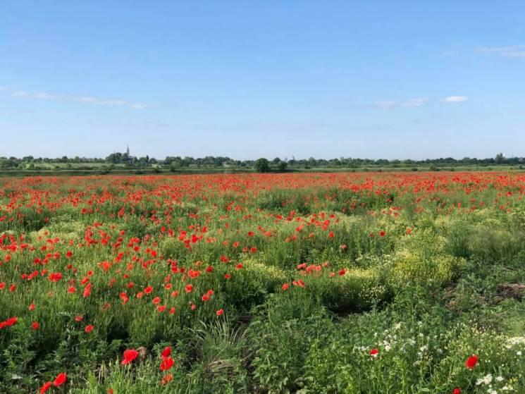 Червоне місце для селфі: Біля Мукачева зацвіло макове поле (ФОТО)