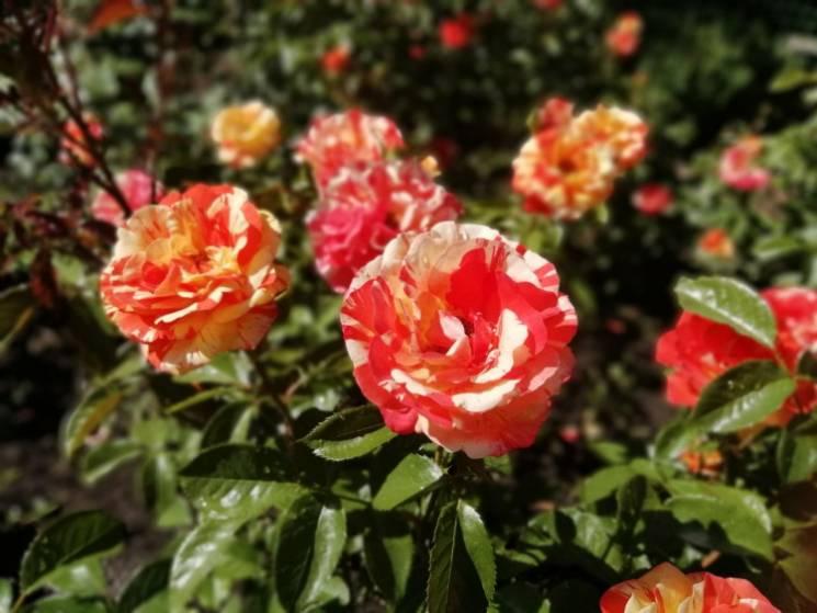 Парад щасливих родин та бал троянд: Де шукати розваг у вихідні в Запоріжжі