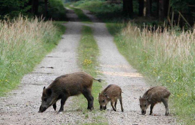 На Полтавщині пропонують відстріляти диких кабанів