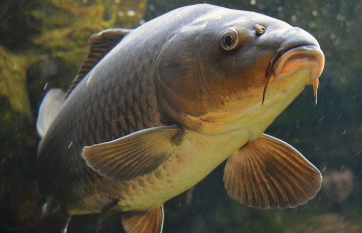 На Полтавщині у водосховище впустили 4,5 тон товстолоба