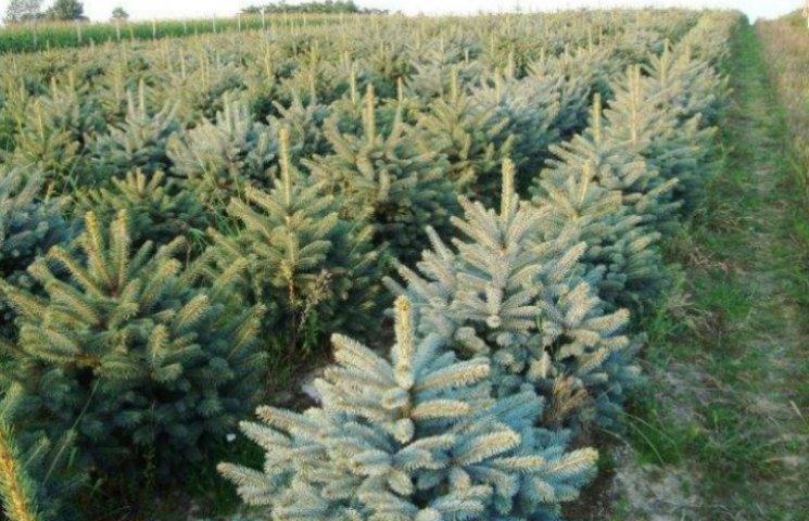 Закарпатські лісівники запевняють, що посадили 10 млн саджанців