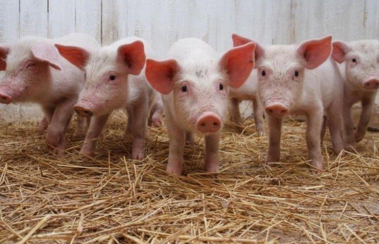 Новоодещина повторно заразилася чумою свиней