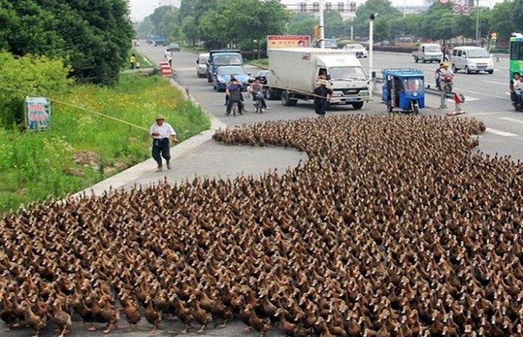 Як тисячі качок у Китаї переходили дорог…