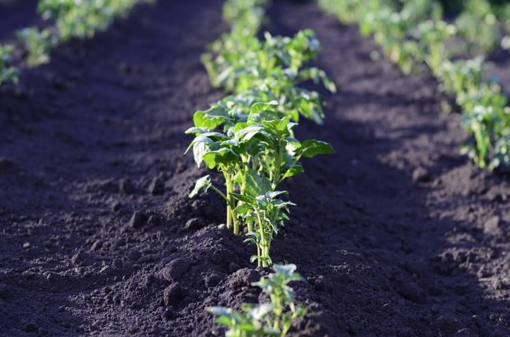 На городі кубанця знайшли 100 кущів коноплі