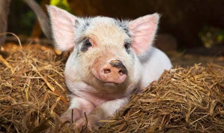 На Миколаївщині зафксували спалах африканської чуми свиней