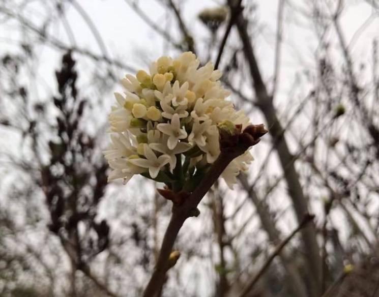 У Херсоні попри мороз, квітне бузок (ФОТО)