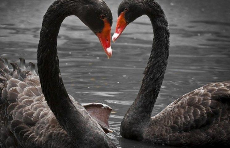 Полтавські лебеді Наталка та Петро готуються зустрічати чорних друзів