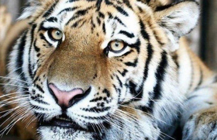 В одеському зоопарку відкриють новий тигрятник