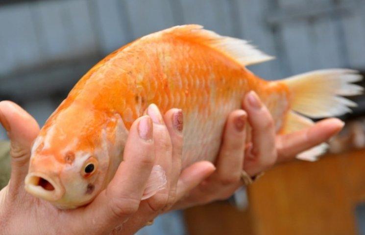 На Одещині спіймали золоту рибку