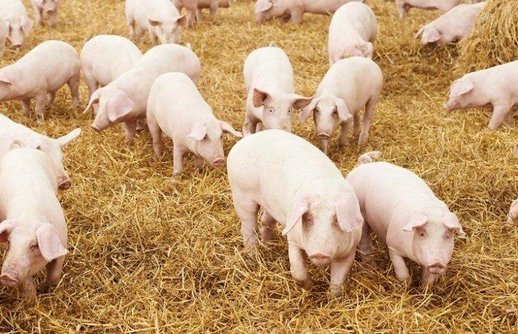 На Полтавщині через африканську чуму свиней обмежили рух транспорту