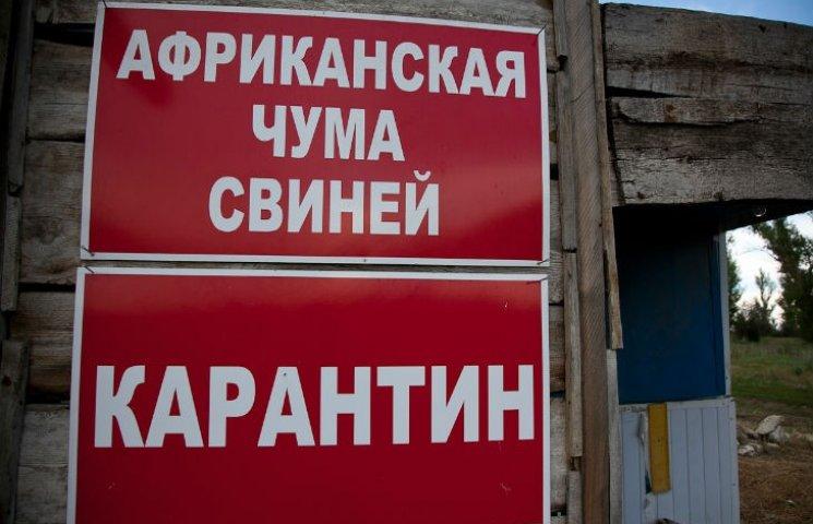 Под Харьковом уничтожают свиней: обнаружили африканскую чуму