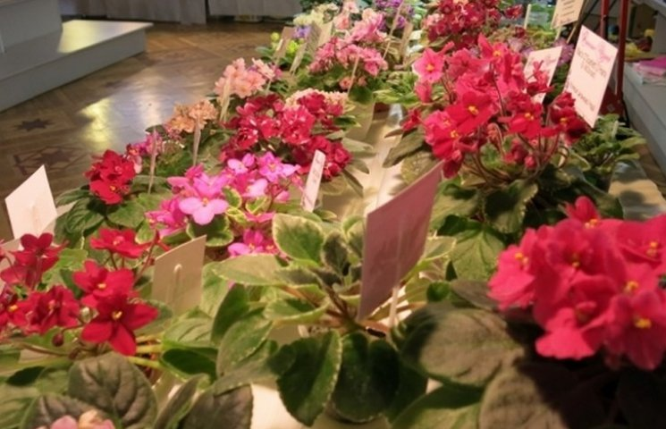 Відома вінницька селекціонерка фіалок презентує ексклюзивні сорти квітів