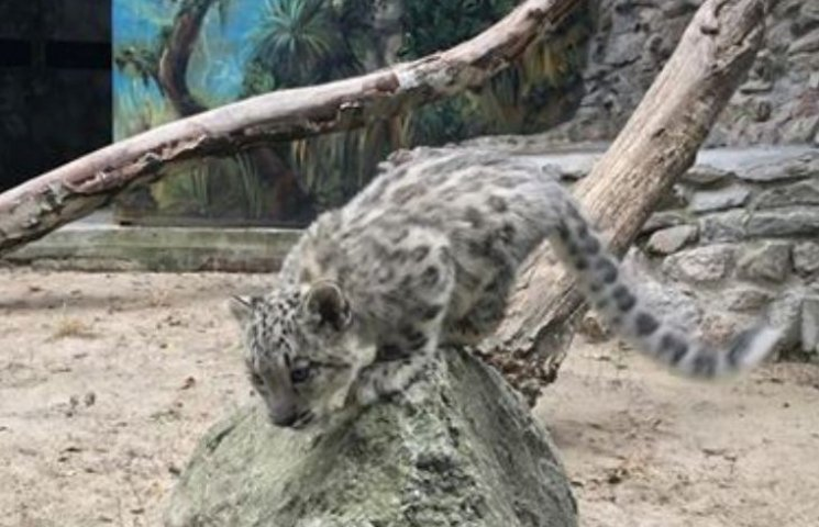 У Миколаївському зоопарку захворіло дитинча сніжного барса