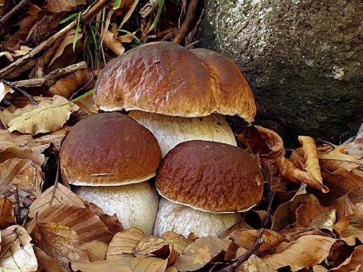 У Рівному продавці торгують радіоактивними білими грибами (ВІДЕО)