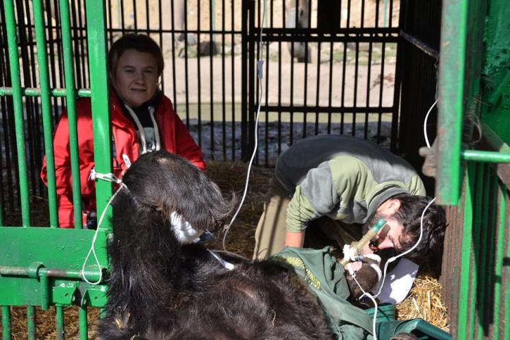 """Як європейці лікували ведмедів у закарпатському """"Синевирі"""" (ФОТО)"""