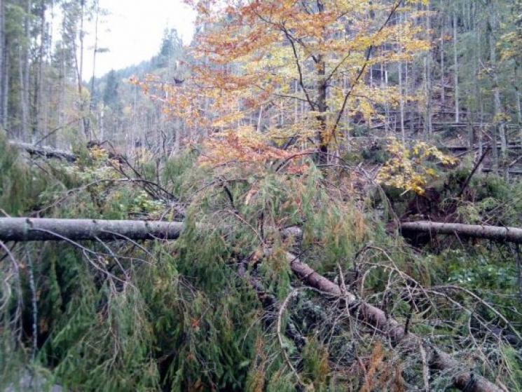 На Тячівщині буревій повикорчовував дерева у лісах (ФОТО)