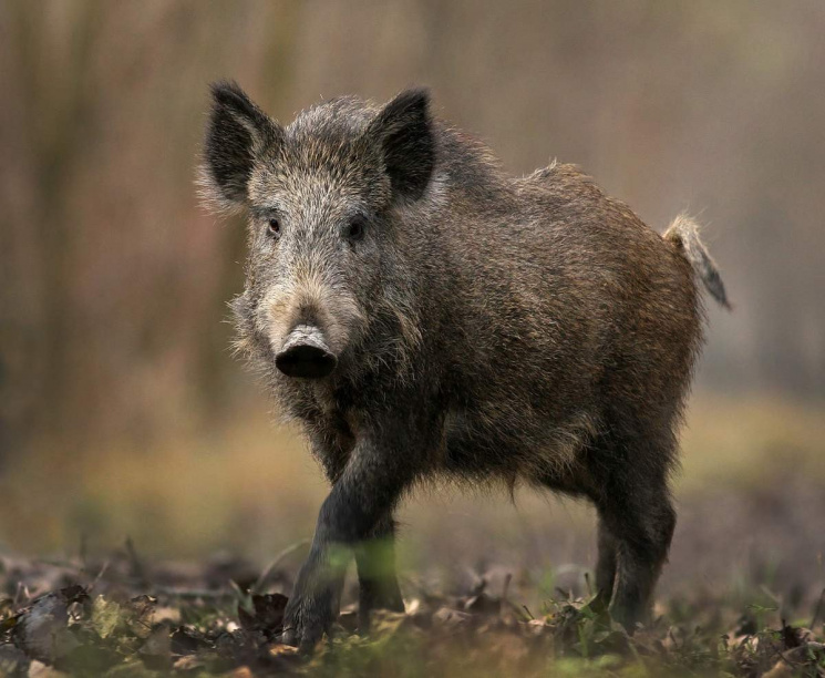 Убуковинському селі, девиявили АЧС, відправлять назабій усіх свиней