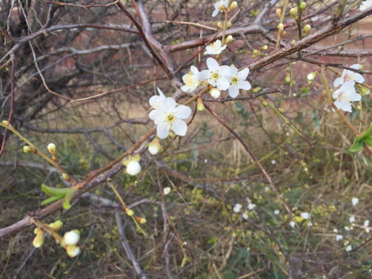 Бердянськ зустрів жовтень цвітінням слив…