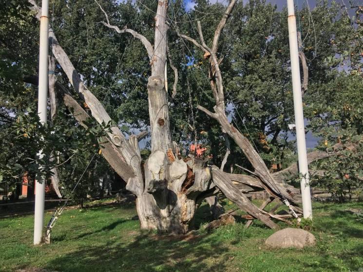 Запоріжжя, що втрачаємо: Як помирає легендарний 700-річний запорізький дуб