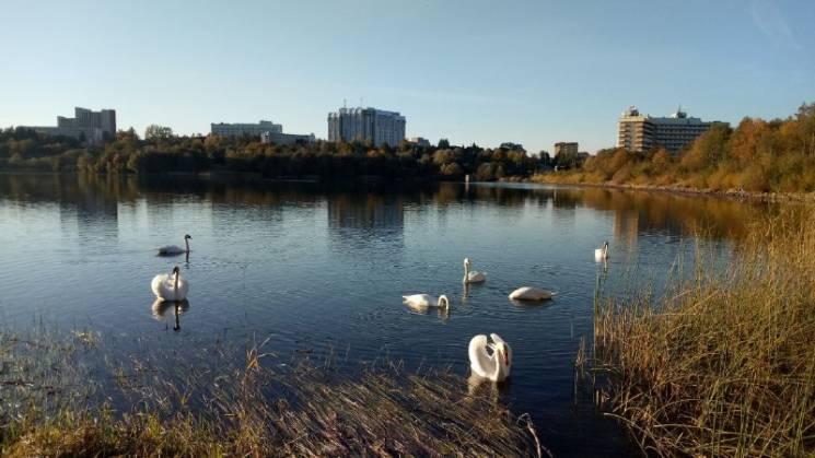 На львівському озері оселилася зграя леб…