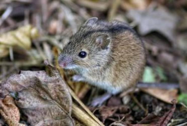 У гризунів на Кропивниччині виявили збудників лептоспірозу