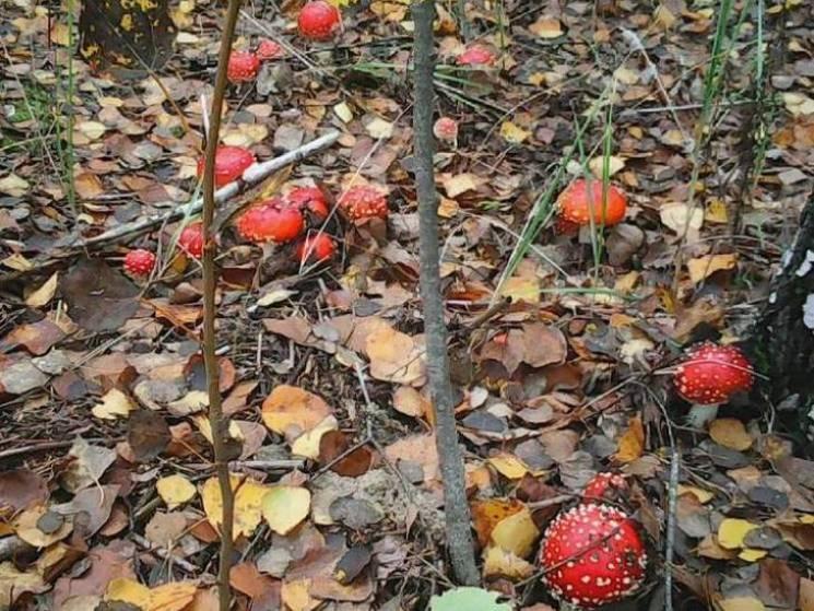 На Полтавщині подружжя отруїлось дикорослими грибами