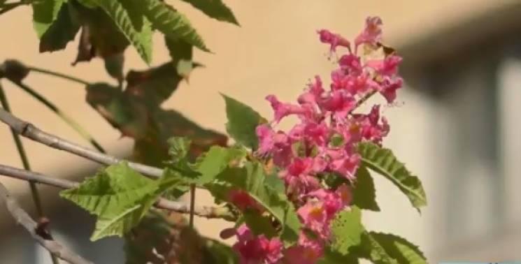 В Ужгороді вдруге за рік розквітли рожеві каштани (ВІДЕО)