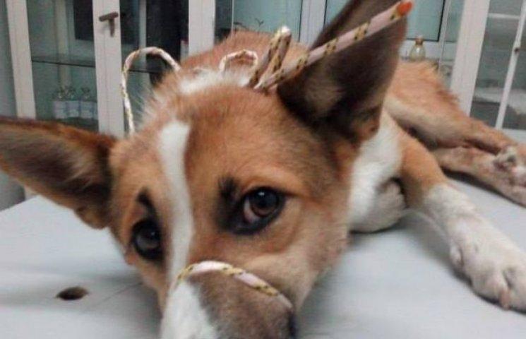 Нелюд зі Стадниці відстрелив собаці геніталії